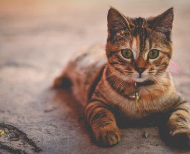 mutuelle pour chat